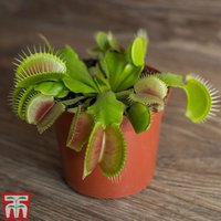 Venus Fly Trap (House Plant)