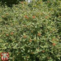 Wayfaring Tree (Hedging)