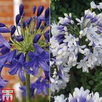 Agapanthus Duo Collection