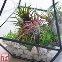 Air Plant Mixed Collection (House Plant)