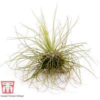 Tillandsia argentea (House Plant)