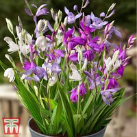 Bletilla Collection
