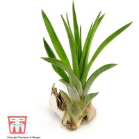 Tillandsia brachycaulos x abdita (House Plant)