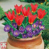 Plant-O-Tray Patio Preplanted Tulip and Crocus