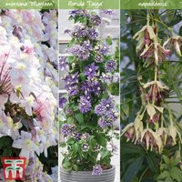 Clematis All Season Climbing Collection