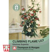 Climbing Flame Lily (House Plant Seeds)