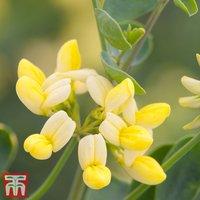 Coronilla valentina subsp. glauca Citrina