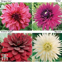 Dahlia Saver Collection
