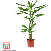Dracaena fragrans (House Plant)