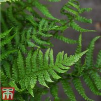 Dryopteris Affinis (House Plant)