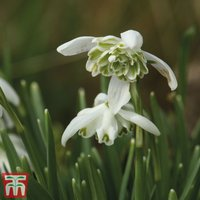 Snowdrop (Double-flowered)