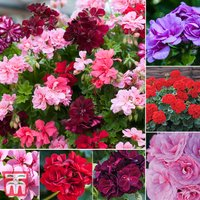 Nurserymans Choice Geranium Plant Collection