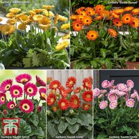 Gerbera Large Sweet Collection