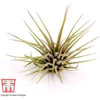 Tillandsia ionantha (House Plant)