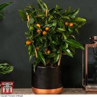 Kumquat - Citrus Trellis (House Plant)