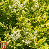 Golden Privet (Hedging)