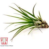 Tillandsia melanocrater tricolor (House Plant)