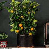 Calamondin Orange - Citrus Trellis (House Plant)