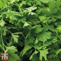 Parsley (Flat Leaved) - Organic Seeds