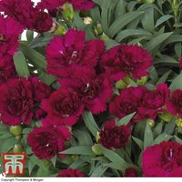 Dianthus caryophyllus Paseo (Sunflor Series)