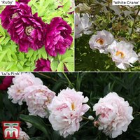 Tree Peony Collection