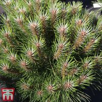 Pinus nigra Marie Bregéon