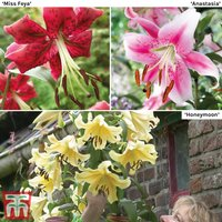 Soaring Tree Lily Collection