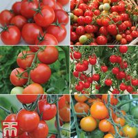 Tasty Tomato Collection