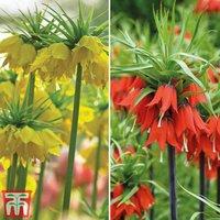 Fritillaria imperialis Duo