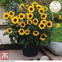 Sunflower SunBelievable