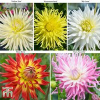 Dahlia Cactus Collection 5 or 10 Plants
