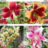 Towering Tree Lily Collection