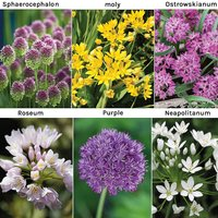 Allium 100 Collection