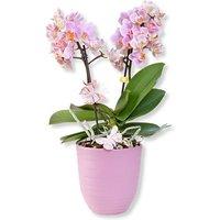 Image of Rosa Orchidee im fliederfarbenem Keramiktopf