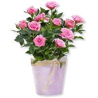 Rosafarbene Rose im Topf