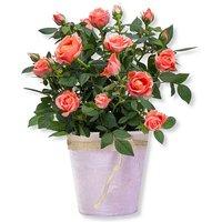 Orangefarbene Rose im Topf