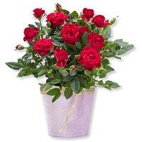 Rote Rose im Topf