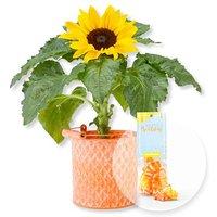 Sonnenblume im Zink-Topf und Fruchtgummi Happy Birthday
