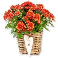 Image of Orangefarbene Chrysantheme im Korb
