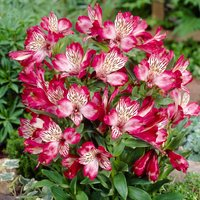 Alstroemeria 'Red Lion'