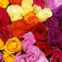 Primrose 'Rosebud Mixed'