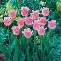 Tulip 'Pink Fountain'