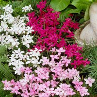 Rhodohypoxis Mixed