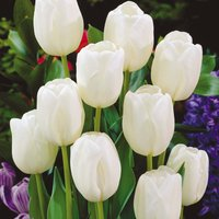 Tulip 'White Dream'