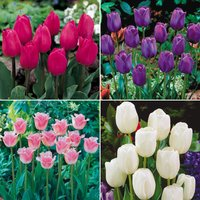 Tulip 'Chic Collection'