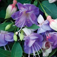 Fuchsia 'Fairy Blue'