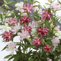 Tree Lily 'Crystal Collection'