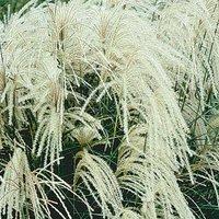 Miscanthus sinensis 'Silberspinne'