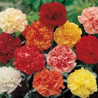 Dianthus Ever Blooming Mix
