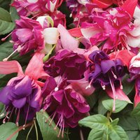 Fuchsia 'Marbled' Trade Bedding Pack